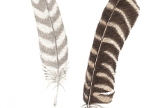 Two Gull Feathers