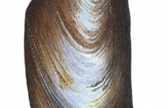 Exe Estuary Mussel Shell